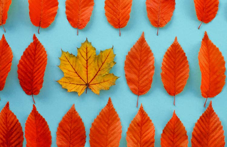 Maple-Leaf-Among-Linden-leaves-Showing-Differentiation